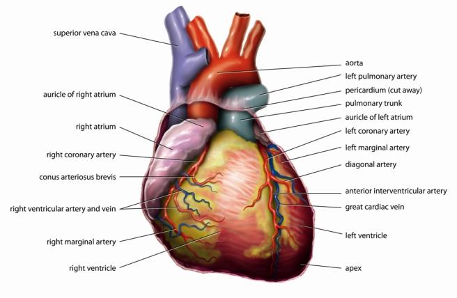 Anatomy_Heart_English_Tiesworks.jpg
